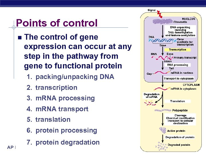 Points of control The control of gene expression can occur at any step in