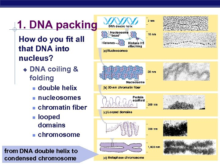 1. DNA packing How do you fit all that DNA into nucleus? u DNA