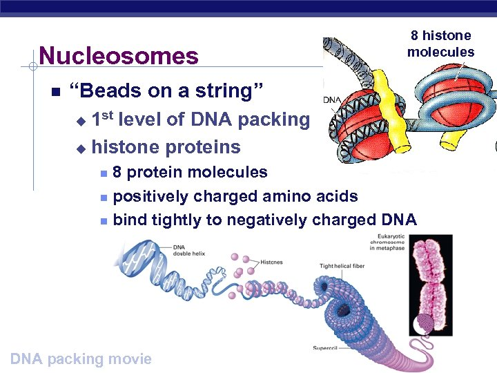 "Nucleosomes 8 histone molecules ""Beads on a string"" 1 st level of DNA packing"