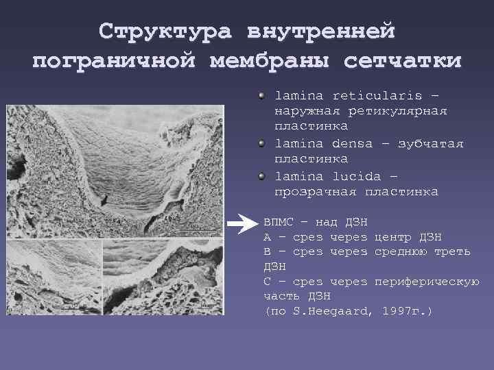 Структура внутренней пограничной мембраны сетчатки lamina reticularis – наружная ретикулярная пластинка lamina densa –