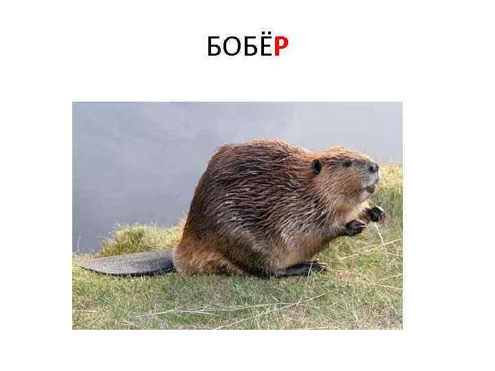 БОБЁР