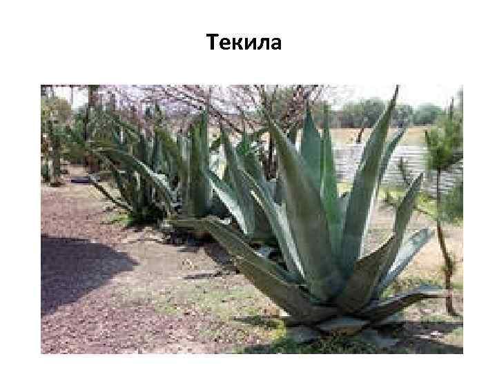 Текила