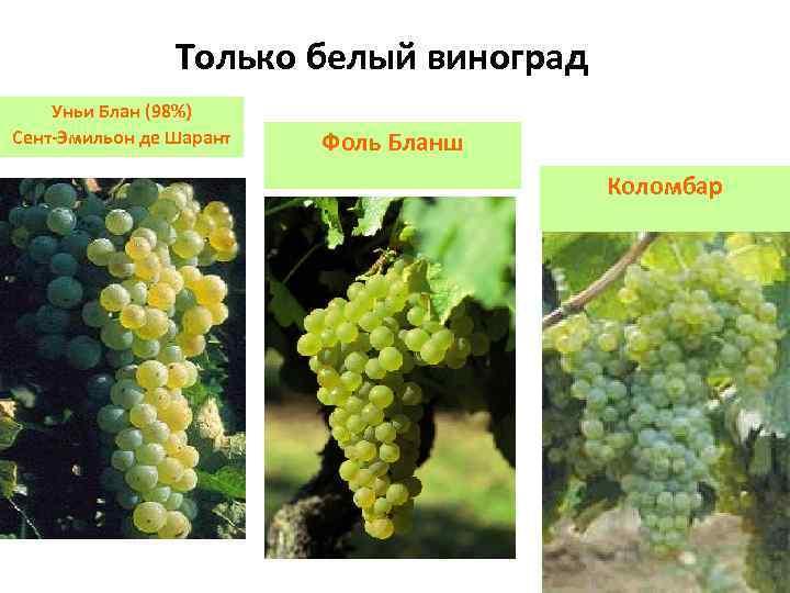 Только белый виноград Уньи Блан (98%) Сент-Эмильон де Шарант Фоль Бланш Коломбар