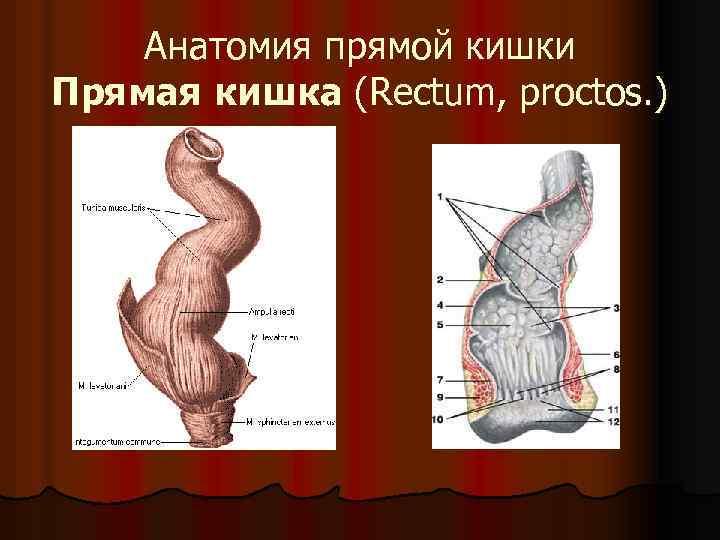 Анатомия прямой кишки Прямая кишка (Rectum, proctos. )