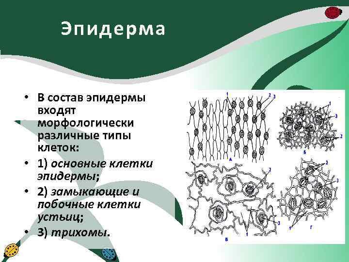 Эпидерма • В состав эпидермы входят морфологически различные типы клеток: • 1) основные клетки