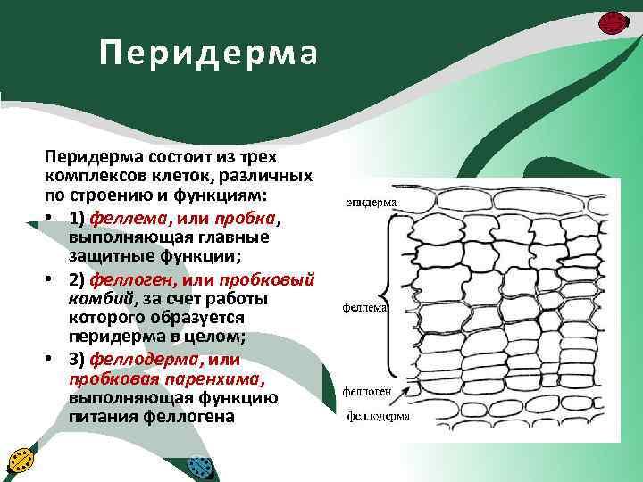 Перидерма состоит из трех комплексов клеток, различных по строению и функциям: • 1) феллема,