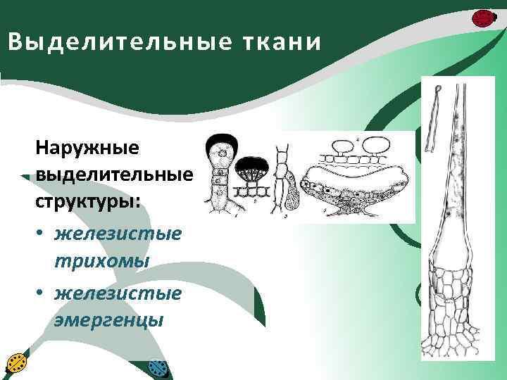 Выделительные ткани Наружные выделительные структуры: • железистые трихомы • железистые эмергенцы
