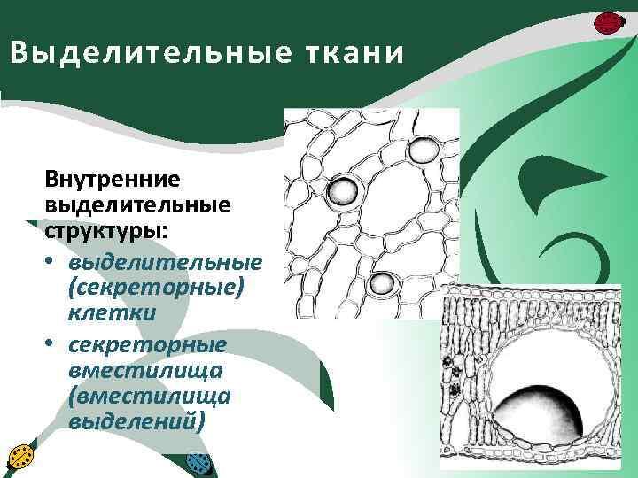Выделительные ткани Внутренние выделительные структуры: • выделительные (секреторные) клетки • секреторные вместилища (вместилища выделений)