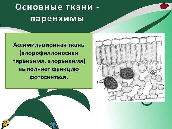 Основные ткани паренхимы Ассимиляционная ткань (хлорофиллоносная паренхима, хлоренхима) выполняет функцию фотосинтеза.
