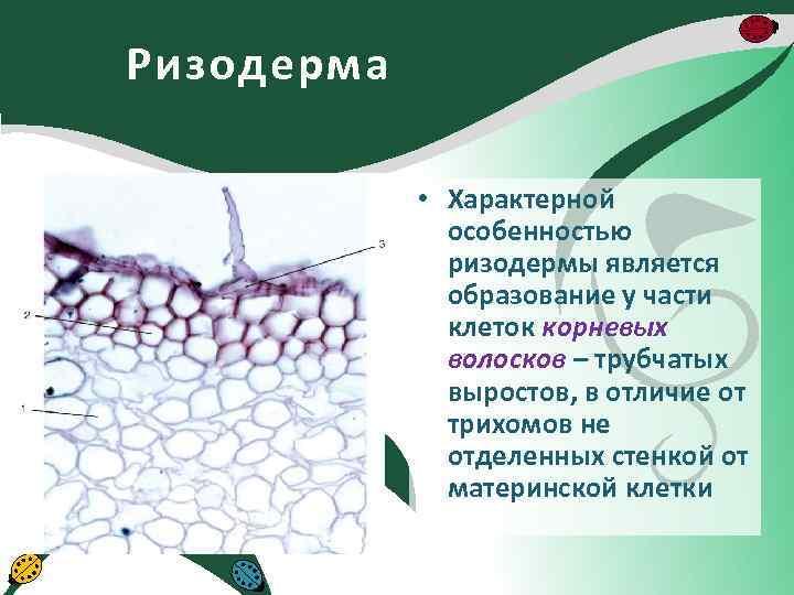 Ризодерма • Характерной особенностью ризодермы является образование у части клеток корневых волосков – трубчатых
