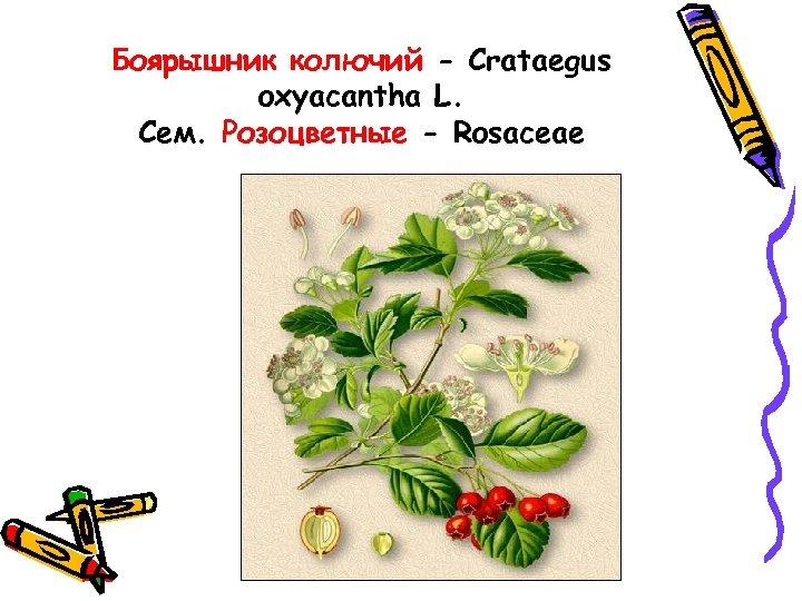 Боярышник колючий - Crataegus oxyacantha L. Сем. Розоцветные - Rosaceae