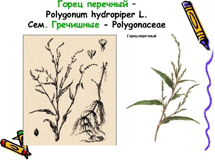 Горец перечный – Polygonum hydropiper L. Сем. Гречишные - Polygonaceae