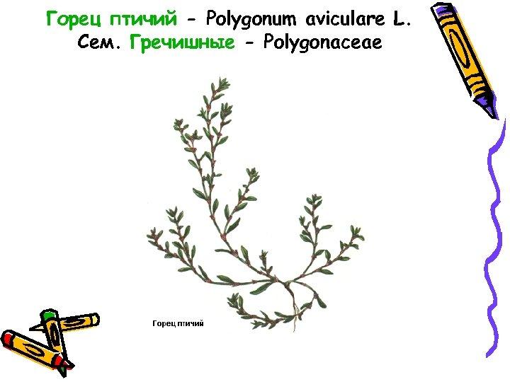 Горец птичий - Polygonum aviculare L. Сем. Гречишные - Polygonaceae