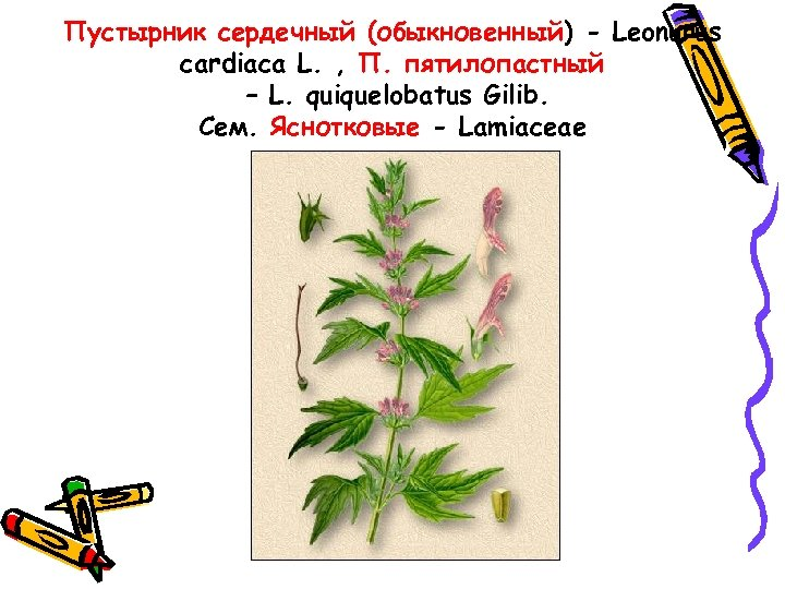 Пустырник сердечный (обыкновенный) - Leonurus cardiaca L. , П. пятилопастный – L. quiquelobatus Gilib.