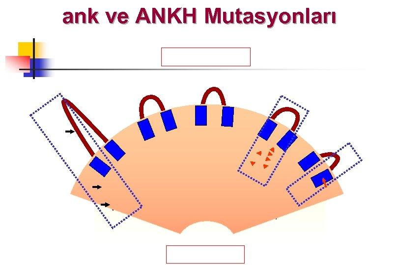 ank ve ANKH Mutasyonları