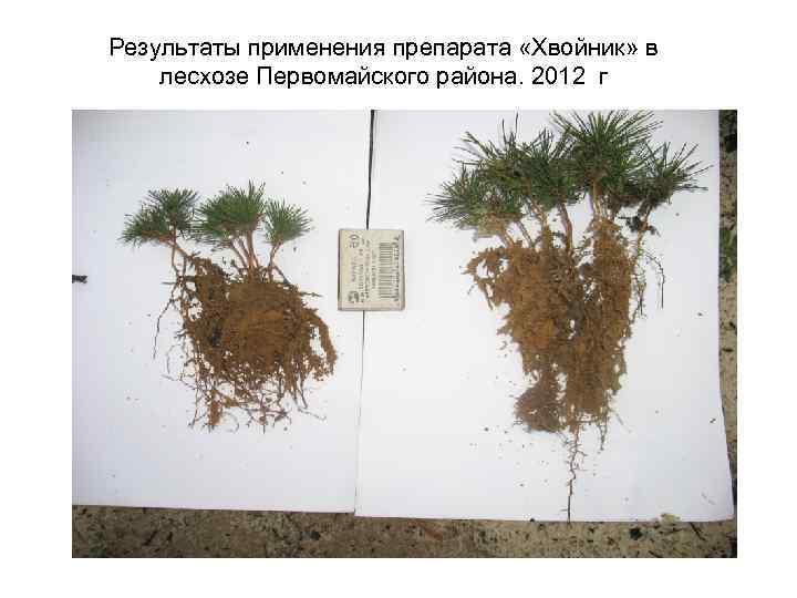 Результаты применения препарата «Хвойник» в лесхозе Первомайского района. 2012 г