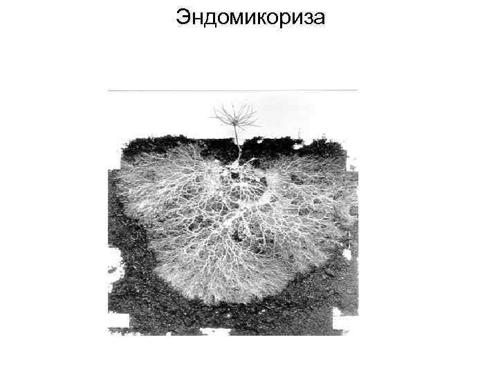 Эндомикориза