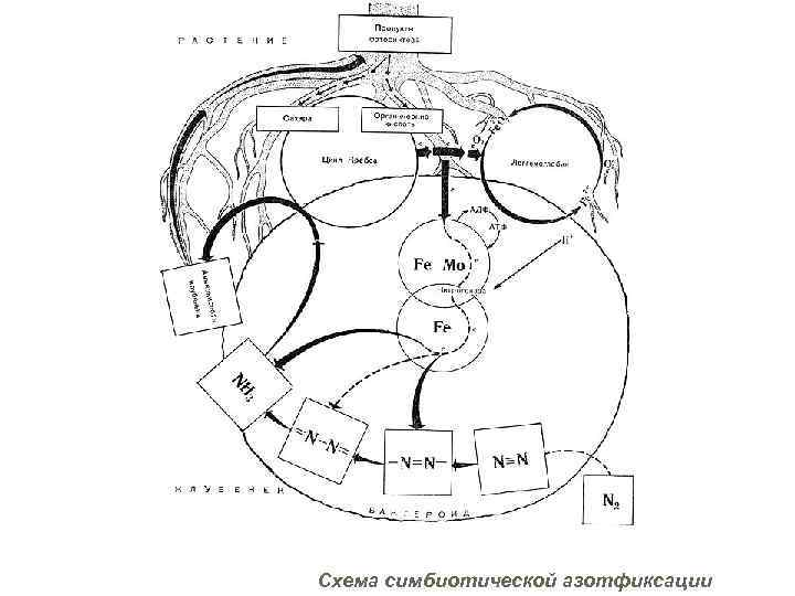 Схема симбиотической азотфиксации