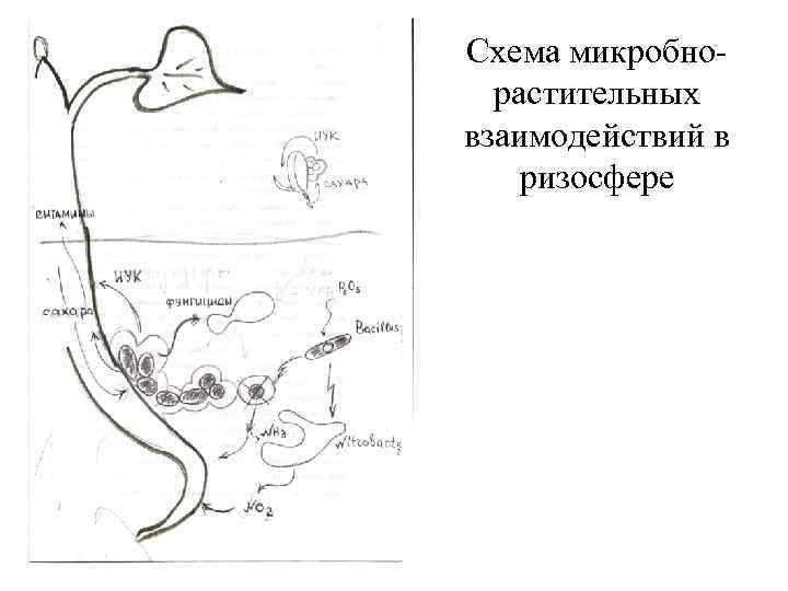 Схема микробнорастительных взаимодействий в ризосфере