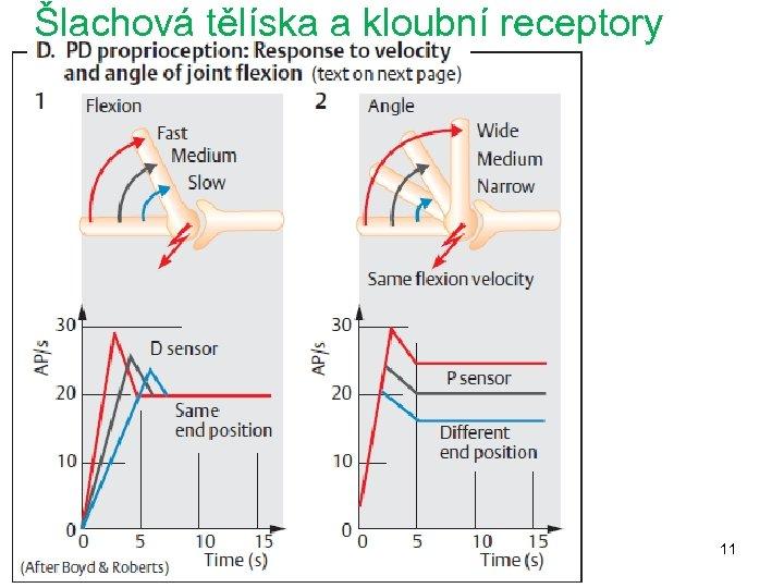 Šlachová tělíska a kloubní receptory 11