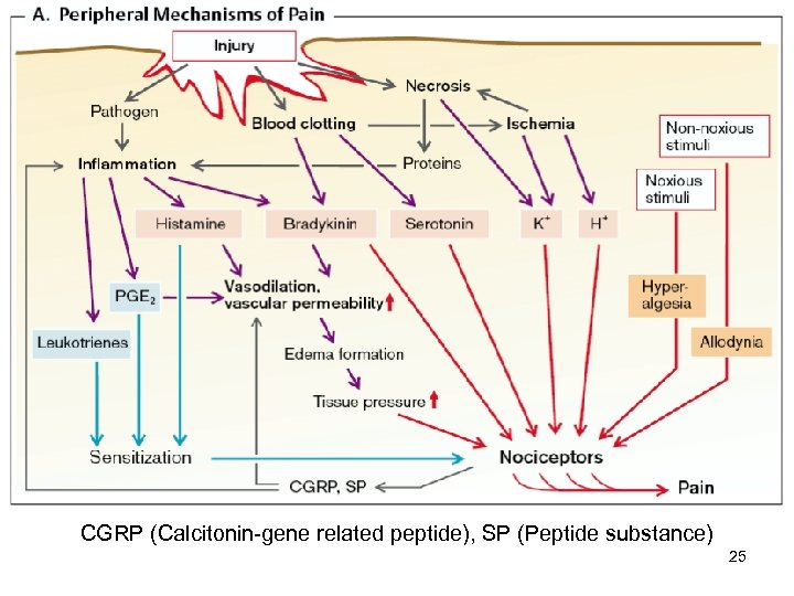 CGRP (Calcitonin-gene related peptide), SP (Peptide substance) 25