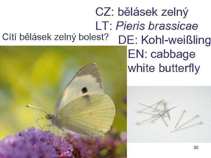 CZ: bělásek zelný LT: Pieris brassicae Cítí bělásek zelný bolest? DE: Kohl-weißling EN: cabbage