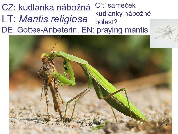 CZ: kudlanka nábožná LT: Mantis religiosa Cítí sameček kudlanky nábožné bolest? DE: Gottes-Anbeterin, EN: