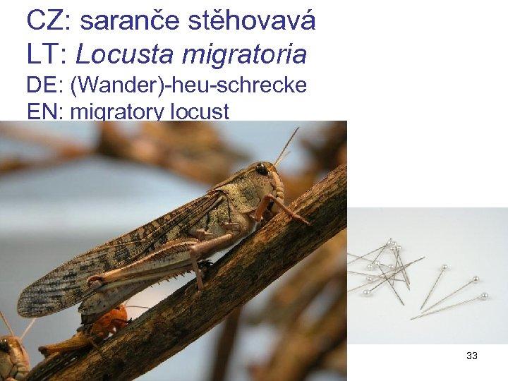CZ: saranče stěhovavá LT: Locusta migratoria DE: (Wander)-heu-schrecke EN: migratory locust z 11 33