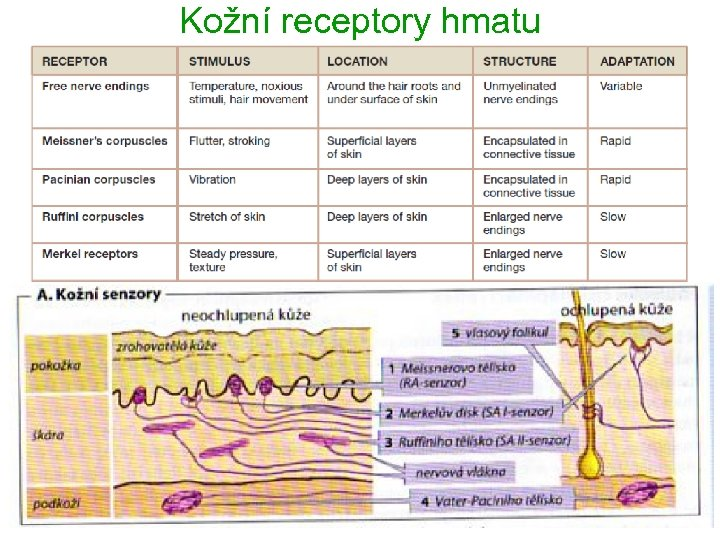 Kožní receptory hmatu 6