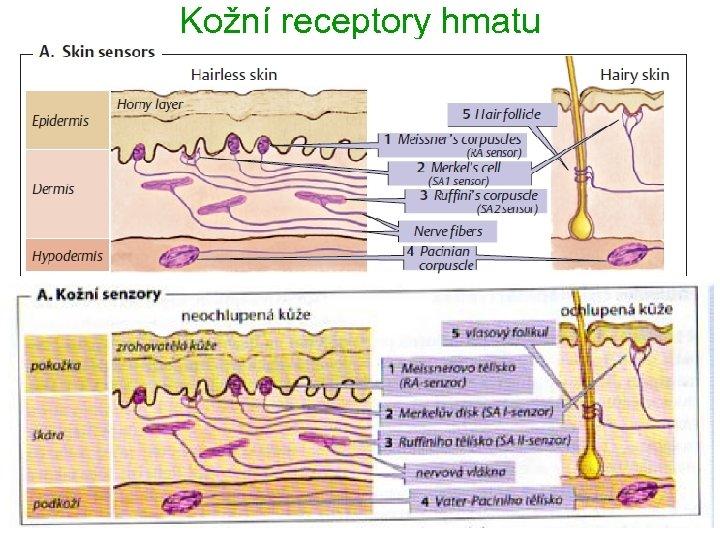 Kožní receptory hmatu 7