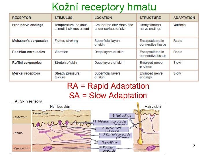 Kožní receptory hmatu RA = Rapid Adaptation SA = Slow Adaptation 8