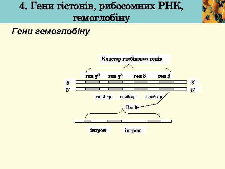 4. Гени гістонів, рибосомних РНК, гемоглобіну Гени гемоглобіну Кластер глобінових генів ген γG ген