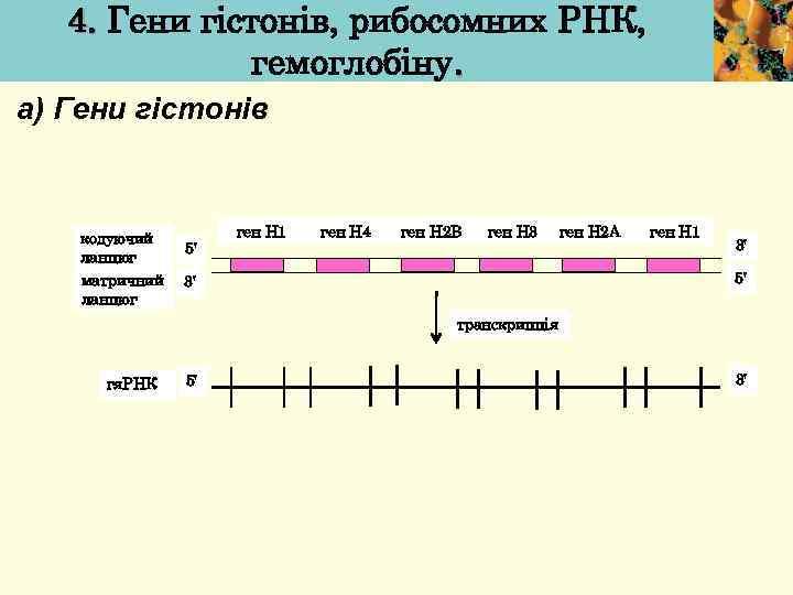4. Гени гістонів, рибосомних РНК, гемоглобіну. а) Гени гістонів кодуючий ланцюг матричний ланцюг 5'