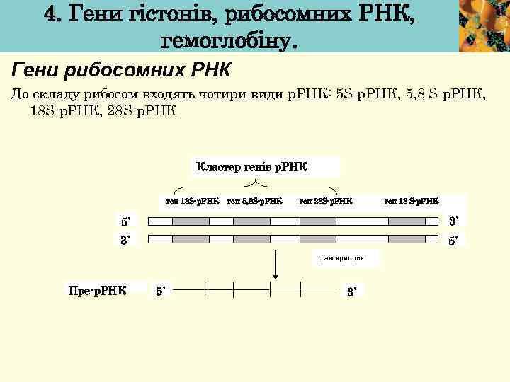 4. Гени гістонів, рибосомних РНК, гемоглобіну. Гени рибосомних РНК До складу рибосом входять чотири