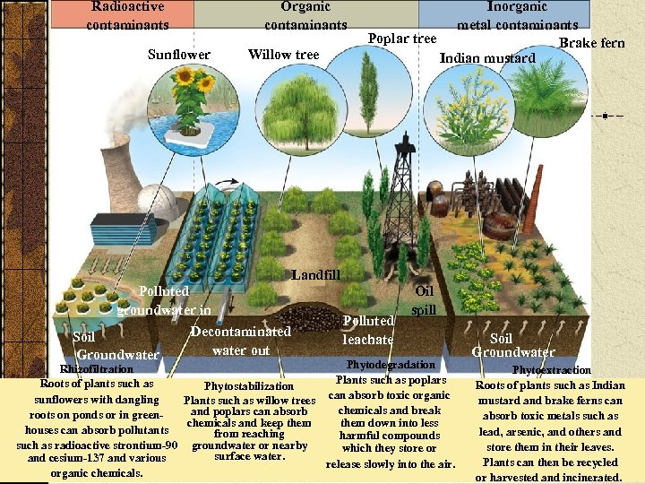 Radioactive contaminants Organic contaminants Sunflower Polluted groundwater in Soil Groundwater Willow tree Inorganic metal