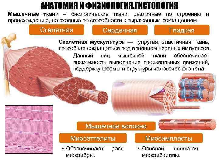 АНАТОМИЯ И ФИЗИОЛОГИЯ. ГИСТОЛОГИЯ Мышечные ткани – биологические ткани, различные по строению и происхождению,