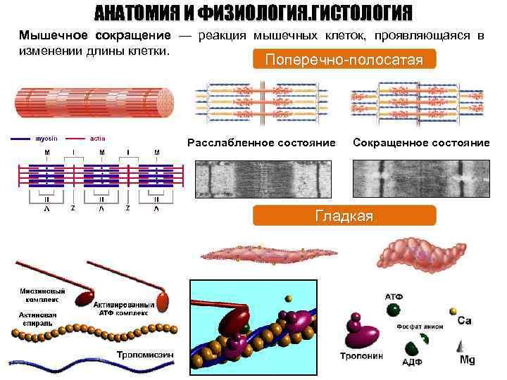 АНАТОМИЯ И ФИЗИОЛОГИЯ. ГИСТОЛОГИЯ Мышечное сокращение — реакция мышечных клеток, проявляющаяся в изменении длины