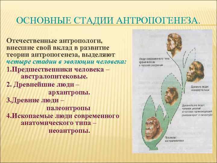 ОСНОВНЫЕ СТАДИИ АНТРОПОГЕНЕЗА. Отечественные антропологи, внесшие свой вклад в развитие теории антропогенеза, выделяют четыре