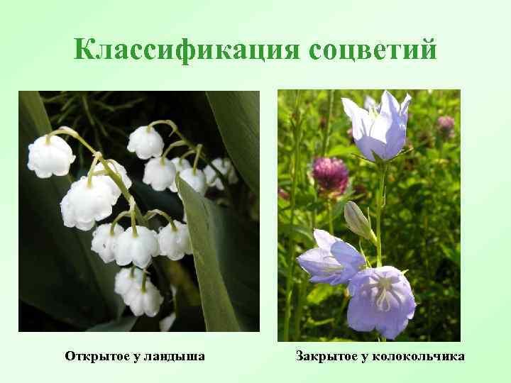 Классификация соцветий Открытое у ландыша Закрытое у колокольчика