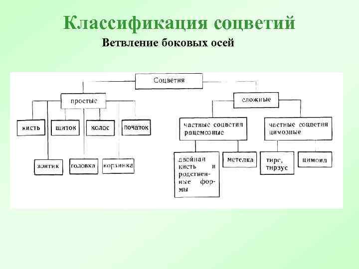 Классификация соцветий Ветвление боковых осей