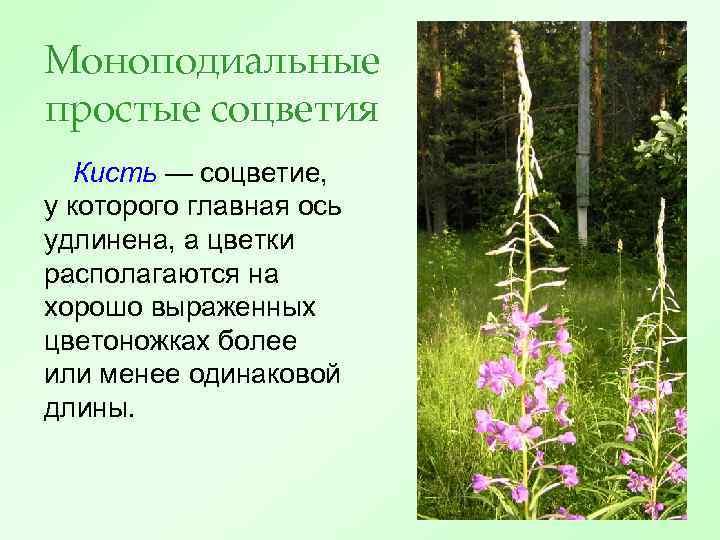 Моноподиальные простые соцветия Кисть — соцветие, у которого главная ось удлинена, а цветки располагаются