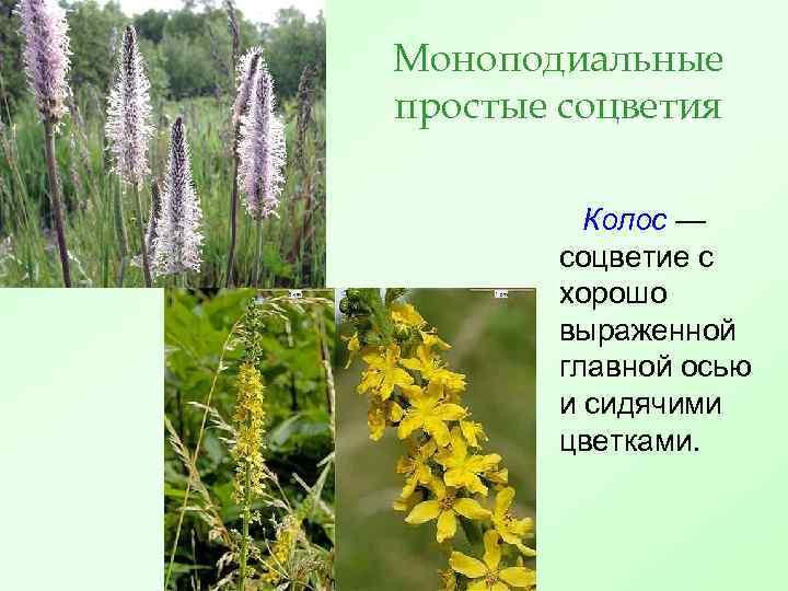 Моноподиальные простые соцветия Колос — соцветие с хорошо выраженной главной осью и сидячими цветками.
