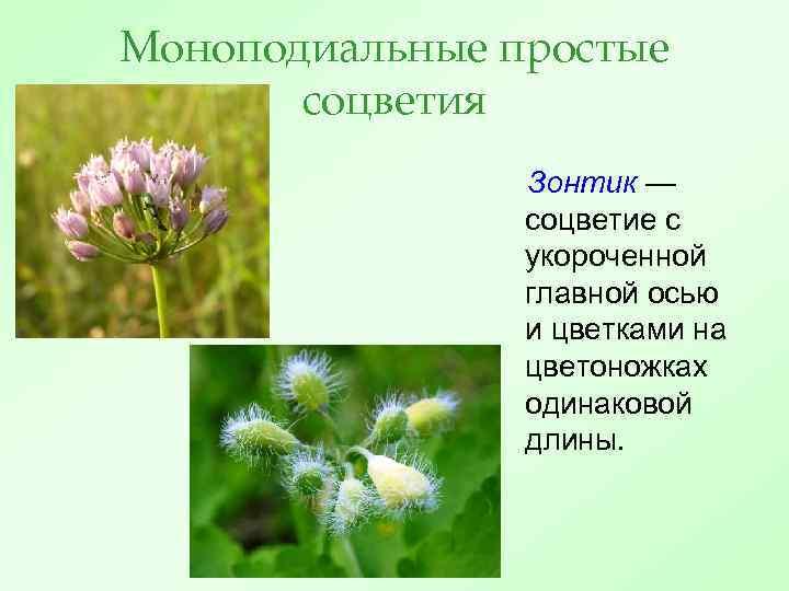 Моноподиальные простые соцветия Зонтик — соцветие с укороченной главной осью и цветками на цветоножках