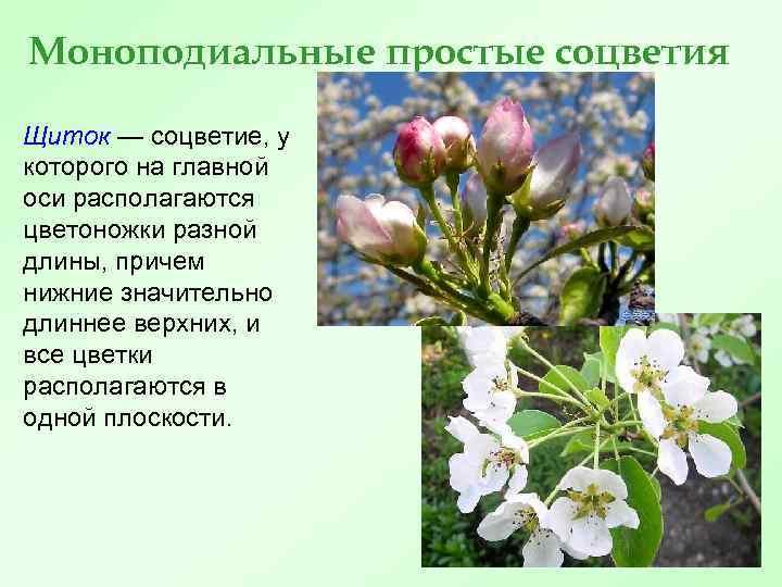 Моноподиальные простые соцветия Щиток — соцветие, у которого на главной оси располагаются цветоножки разной