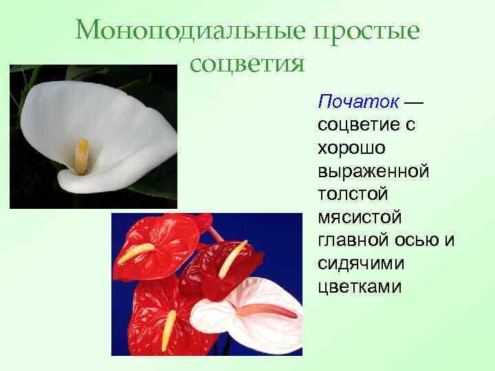 Моноподиальные простые соцветия Початок — соцветие с хорошо выраженной толстой мясистой главной осью и