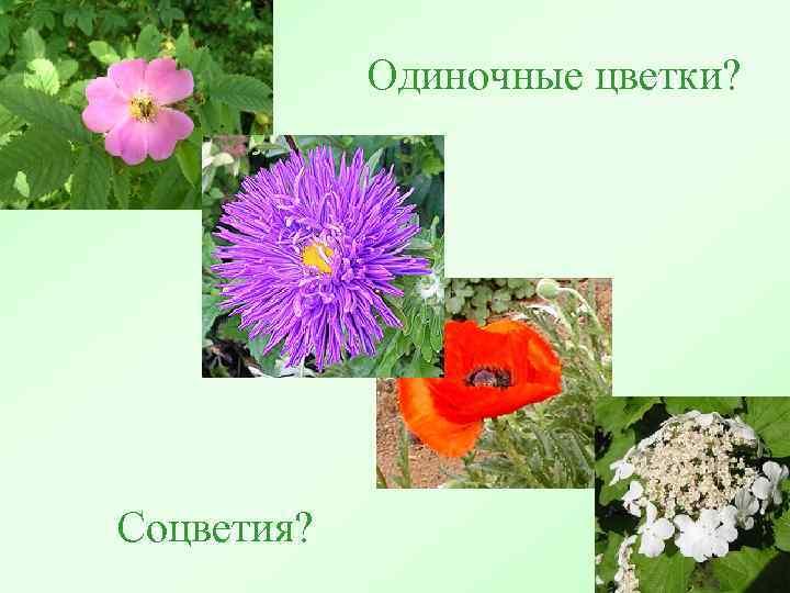 Одиночные цветки? Соцветия?