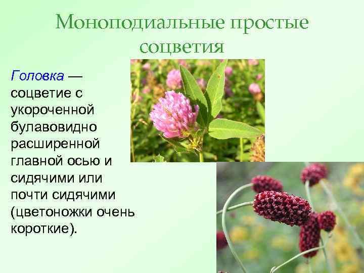 Моноподиальные простые соцветия Головка — соцветие с укороченной булавовидно расширенной главной осью и сидячими