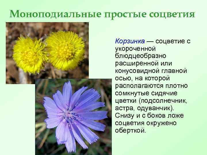 Моноподиальные простые соцветия Корзинка — соцветие с укороченной блюдцеобразно расширенной или конусовидной главной осью,