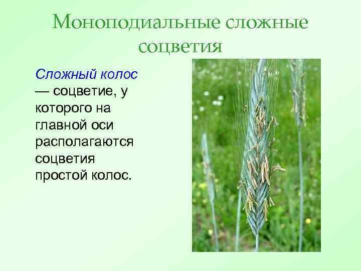 Моноподиальные сложные соцветия Сложный колос — соцветие, у которого на главной оси располагаются соцветия