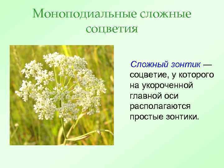 Моноподиальные сложные соцветия Сложный зонтик — соцветие, у которого на укороченной главной оси располагаются